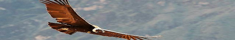 El condor es el simbolo de la libertad